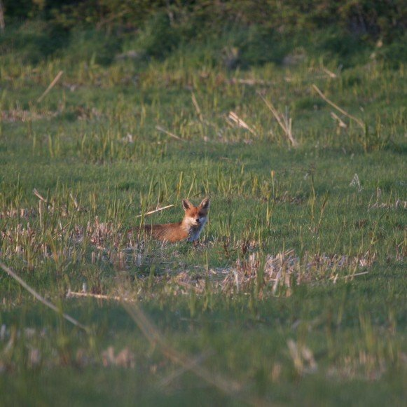 Fox in Timber Hill Field