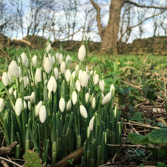 Signs of Spring - Snowdrops